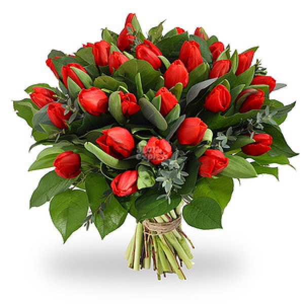 Букет из 25-ти красных тюльпанов высшего сорта с зеленью